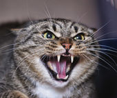 Angry cat hissing aggressive — Stock Photo