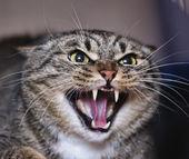 嘶嘶咄咄逼人的愤怒猫 — 图库照片