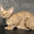 Stock Photo: Devon Rex