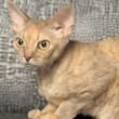 Devon Rex — Stock Photo