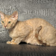 Devon Rex — Stock Photo #8156104