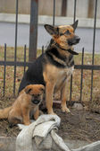 Half-breed dog and puppy shepherd dog on the street — Stock Photo
