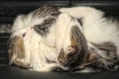 Dos gatitos jugando a pelear — Foto de Stock