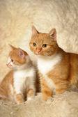 Röd katt med en kattunge — Stockfoto