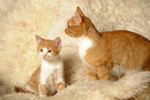 Red cat with a kitten — Stock Photo