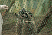 Raccoon pushing paws through a cage lattice — Stock Photo