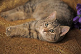 Tabby cat looks with interest — Stock Photo