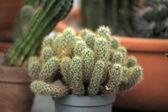 Cactus Pot — Stock Photo