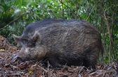 Wild boar in woods — Stock Photo