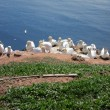 Breeding sea birds on the Island of Helgoland — Stock Photo