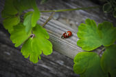 Ladybugs Mating — Stock Photo