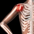 Stock Photo: Female skeleton with shoulder pain