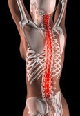 Female Skeleton with Spine Highlighted — Stock Photo