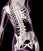 Female skeleton — Stock Photo