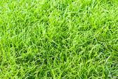 Green grass texture close up — Stock Photo