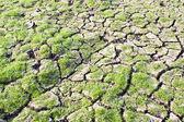 Herbe verte sur la terre fissurée — Photo