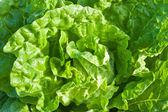 Chinese cabbage — Stock Photo