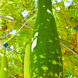 Wax gourd or Chalkumra or winter melon — Stock Photo #9929280