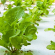 Stock Photo: Hydroponics vegetable