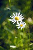 Vackra daisy på gräs bakgrunden — Stockfoto