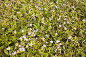 White Flower and green grass cover — Stock Photo