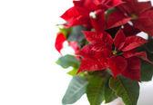 Yılbaşı çiçeği. Kırmızı Atatürk çiçeği — Stok fotoğraf
