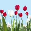 Stock Photo: Red and white tulips