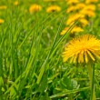 Dandelions — Stock Photo #8219233