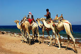 Camel riders on the Red Sea beach — Stock Photo