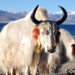 Tibetan white yaks at lakeside — Stock Photo