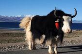 湖畔でチベットのヤク — ストック写真