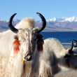 Tibetan white yaks - Stock Photo