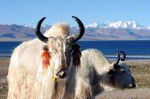 Tibetan white yaks — 图库照片