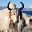 Tibetan white yaks — Stock Photo #10653810