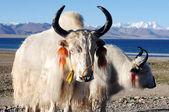 Tibetan white yaks — Stock Photo