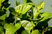 Mulberry-baum-blätter — Stockfoto