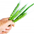 Wheat ears in hand — Stock Photo