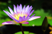 Water lily — Stockfoto