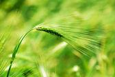 小麦的耳朵 — 图库照片