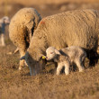 Lamb Grzing on the field with sheep - Stock Photo