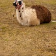 Llama (Lama glama) in nature - Stock Photo