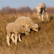 White Lambs Playing in Springtime — Stock Photo