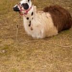Llama (Lama glama) in nature — Stock Photo #8185227