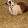 Llama (Lama glama) in nature — Stock Photo
