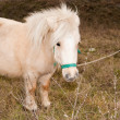 Stock Photo: White Pony in nature