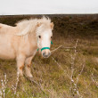 White Pony in nature — Stock Photo