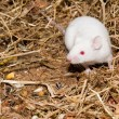 White Lab Mouse - Stock fotografie