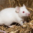 White Lab Mouse - Stock Photo
