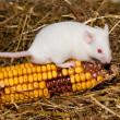 White Lab Mouse with Corn Cob - Stock Photo