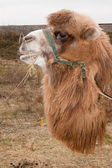 Bactrian Camel (Camelus bactrianus) — Stock Photo